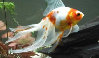 Why is My Goldfish Turning White?