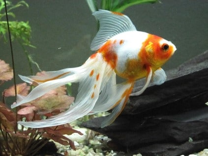 Why is My Goldfish Turning White? Reasons & What Should I Do?