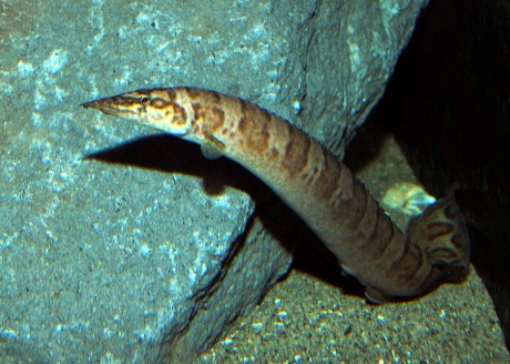 African Spiny Eel