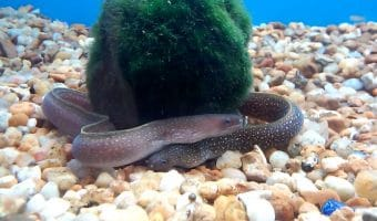 Freshwater Aquarium Eels Species – Types of & Aquarium Eel Care