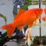How Big Can Goldfish Get?