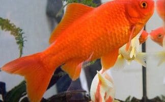 How Big Can Goldfish Get?