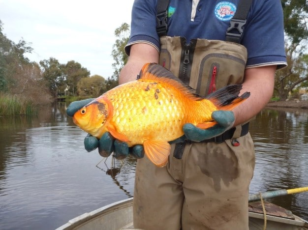 How Big Can Goldfish Get in the Wild?