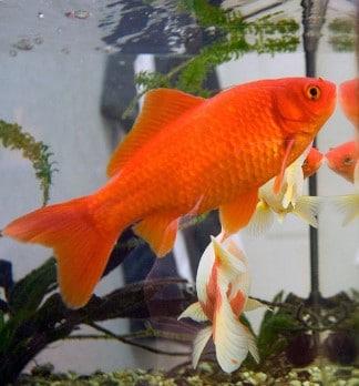 How Big Can Goldfish Get? - Make Your Goldfish Grow Faster