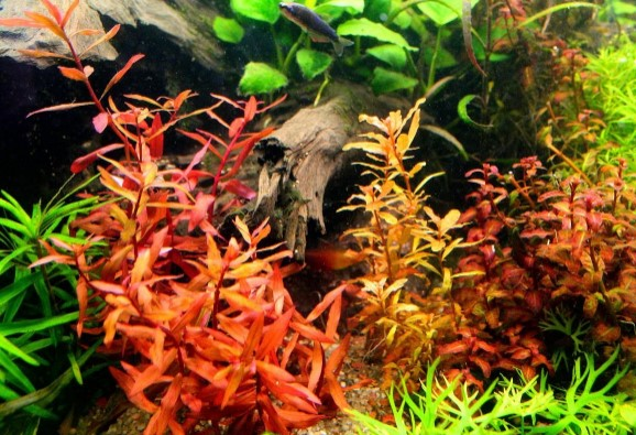 Image result for 8 Types of Beautiful Red Aquarium Plants