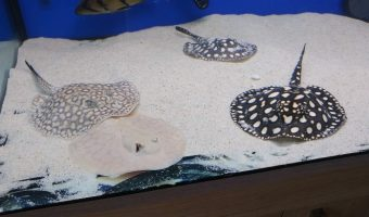 Best Freshwater Aquarium Stingrays - Types of and Care