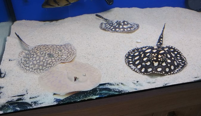 10 Best Freshwater Aquarium Stingrays - Types of and Care