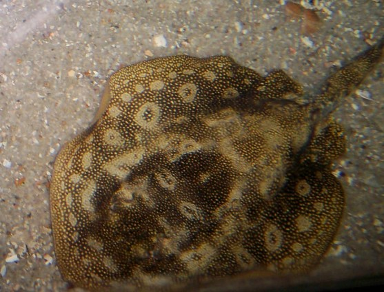 Mottled Stingray