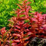 10 Easy Red Aquarium Plants