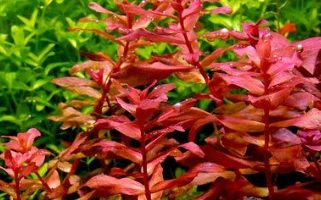 10 Easy Red Aquarium Plants