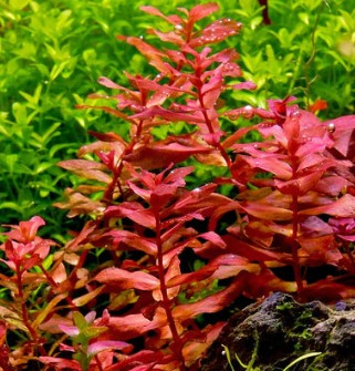 10 Easy Red Aquarium Plants - Keep Red Plants in Aquarium