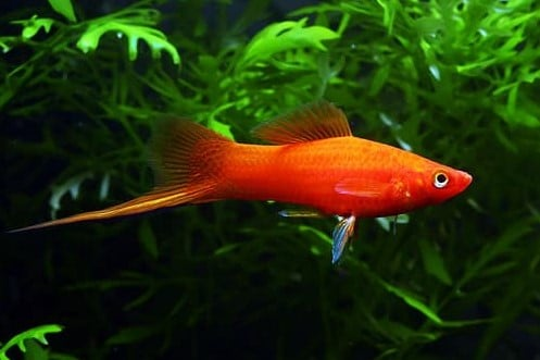 Red Swordtails