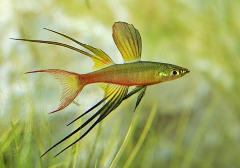 Threadfin Rainbow Fish