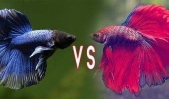 Betta Fish Fighting - Why and How Do Betta Fish Fight?