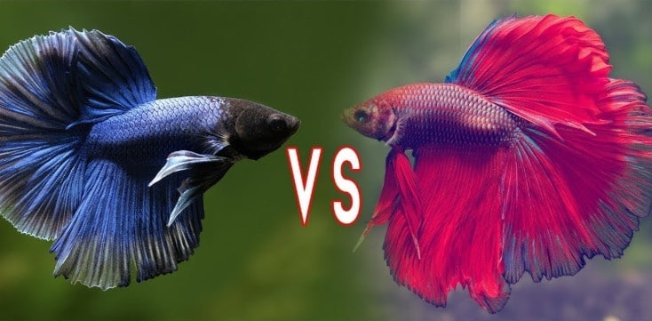 Betta Fish Fighting - Why and How Do Betta Fish Fight?