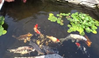 What to Feed Koi Fish? Ultimate Guide Koi Fish Feeding