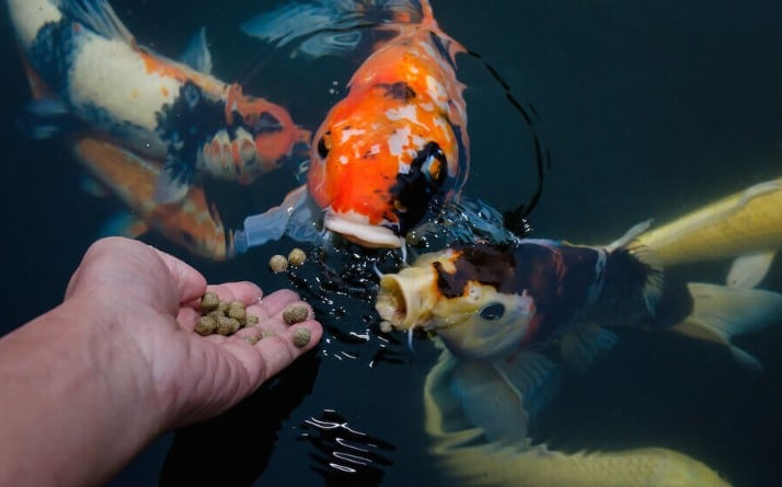 When is the Best Time to Feed Koi Fish?