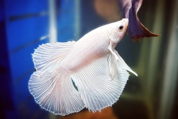 Betta Fish Losing Color – All You Need to Know