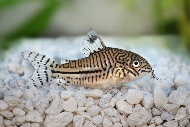 Keeping, Breeding Corydoras Catfish and Their Relatives