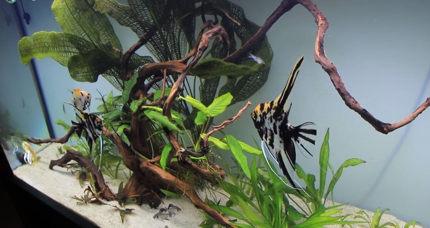 How Many Angelfish in a Tank?