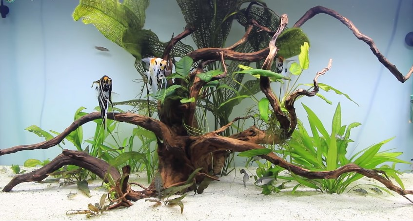 What Fish Can You Keep with Angelfish?