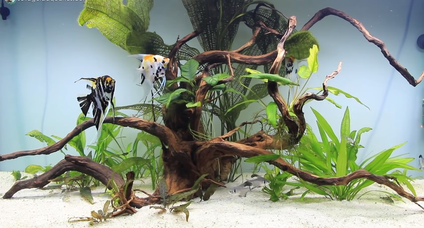 What Size Tank for Angelfish - How Many Angelfish in a Tank?