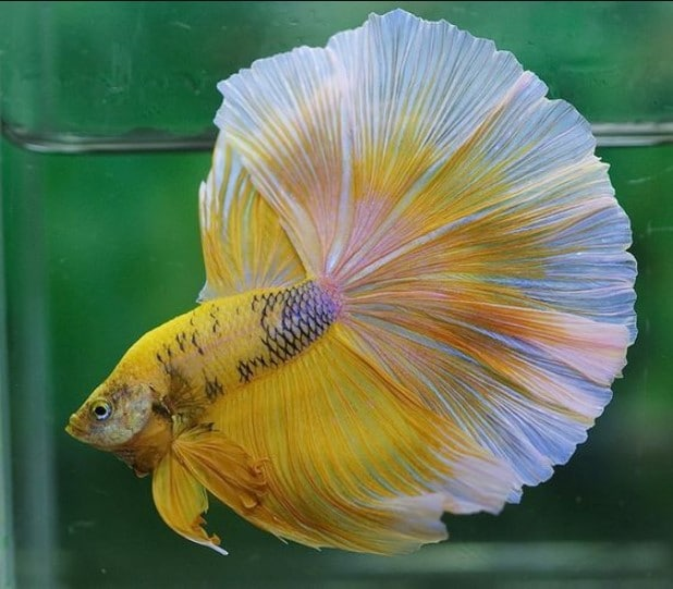 Betta Fish Care – Everything You Need to Know