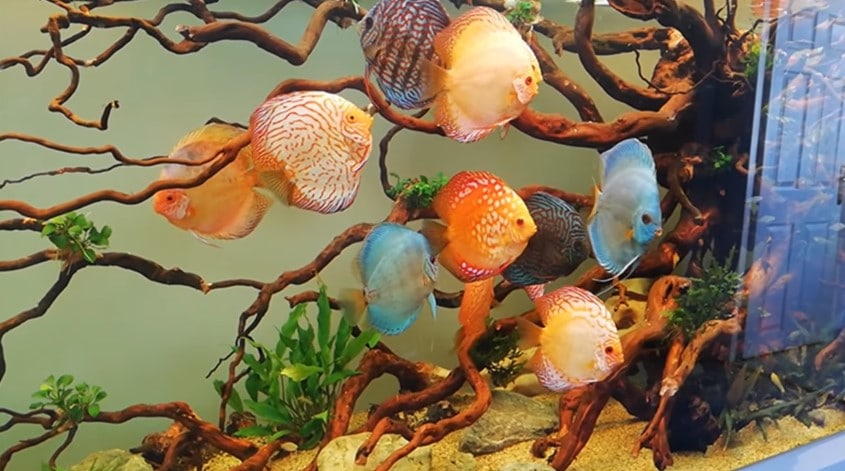 How to Choose Good Discus Fish?