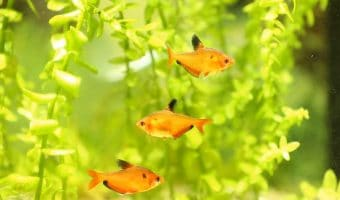 How to Lower Ammonia Levels in a Fish Tank?