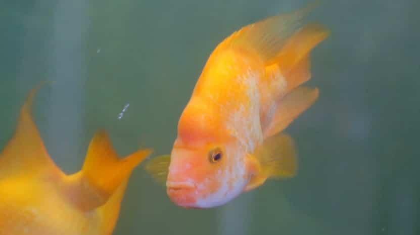Effects of ammonia on aquatic life